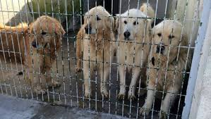 Dogs in Turkey Await Transport